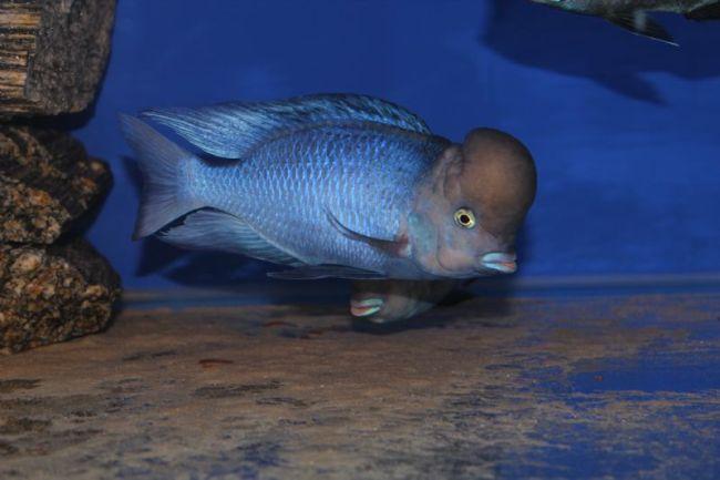 голубой дельфин с крупным горбом на лбу