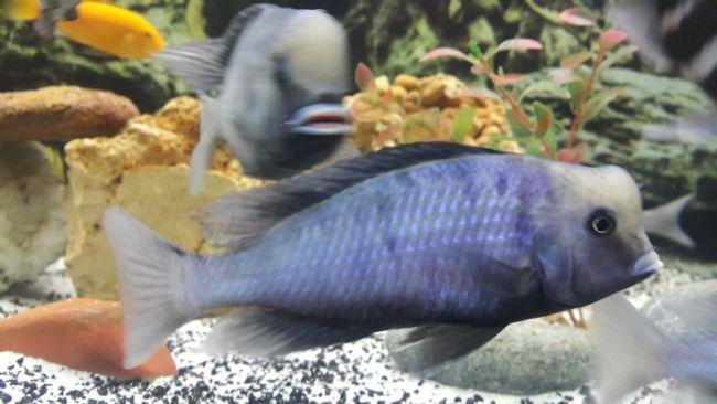 голубые дельфины в аквариуме с другими рыбками