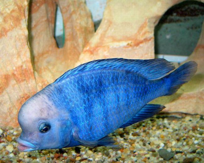 голубой дельфин плавает у дна на фоне аквариумных декораций