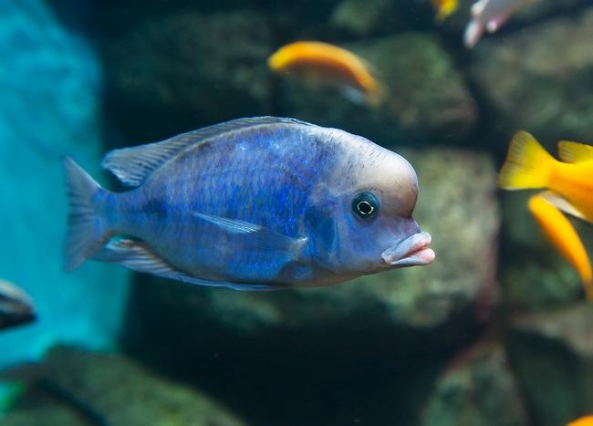 голубой дельфин в аквариуме с другими рыбками на фоне камней