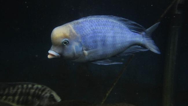 рыбка голубой дельфин в аквариуме