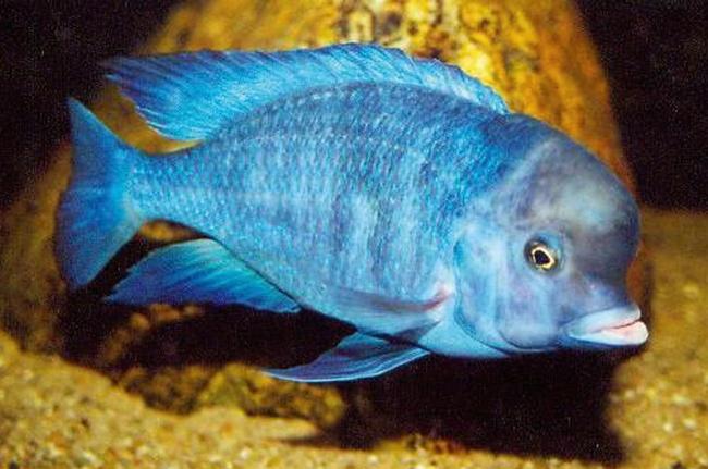 голубой дельфин или циртокара мури в аквариуме