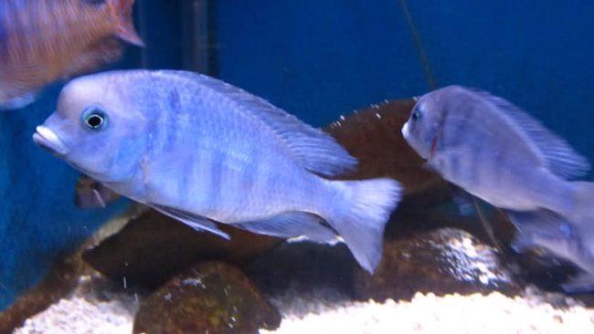 голубые дельфины в аквариуме на фоне камней