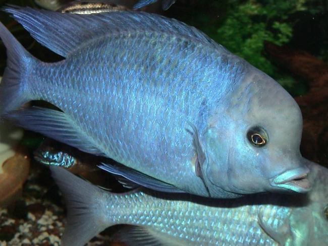 рыбка голубой дельфин или циртокара мури в аквариуме