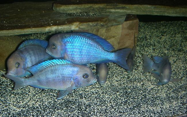 голубые дельфины в аквариуме
