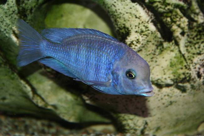 голубой дельфин или циртокара мури в аквариуме на фоне камней