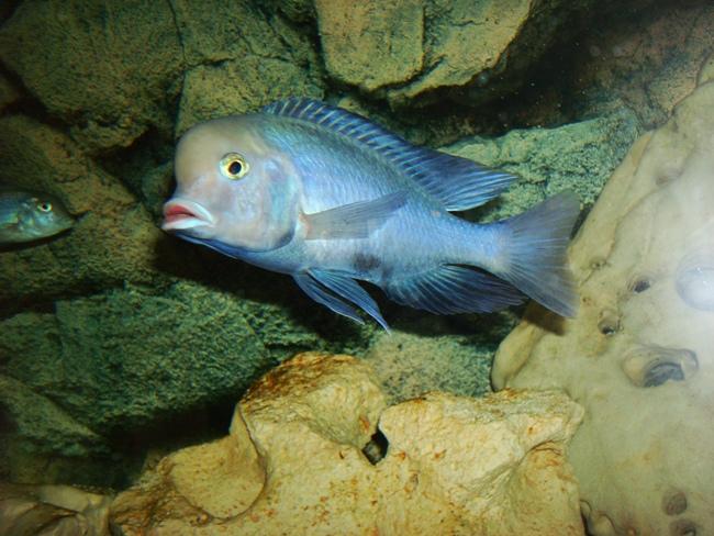 аквариумная рыбка голубой дельфин на фоне камней