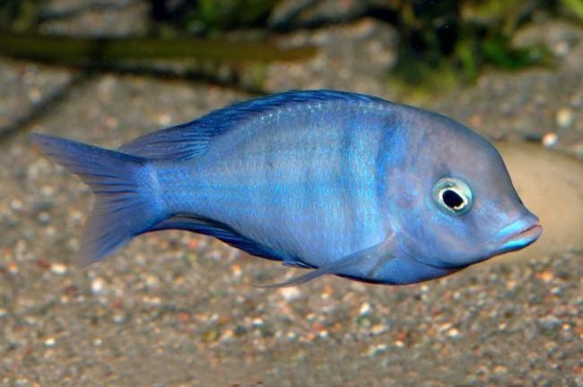 рыба голубой дельфин или циртокара мури в аквариуме