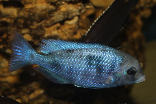 малавийская цихлида голубой дельфин или циртокара мури