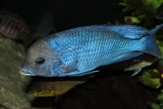малавийская цихлида голубой дельфин в аквариуме