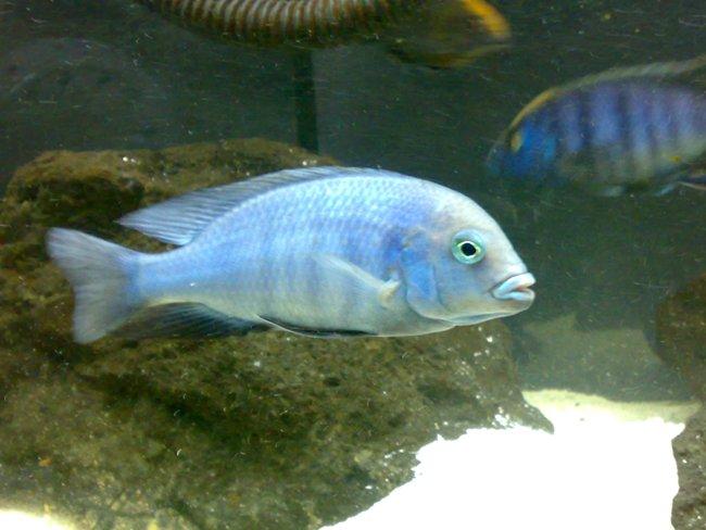 голубой дельфин плавает в аквариуме с другими рыбками