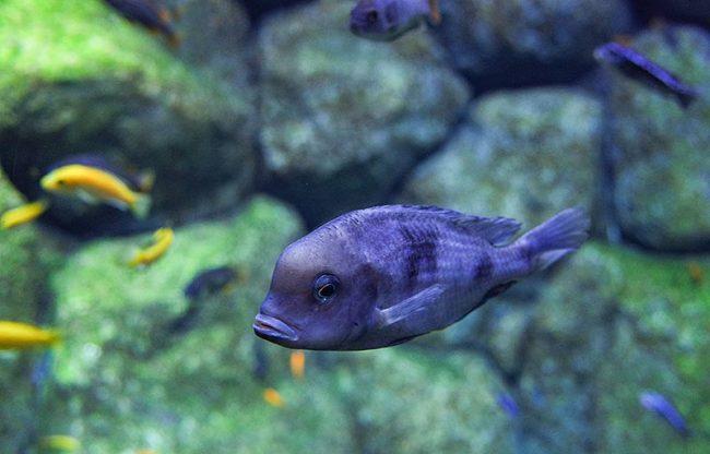 голубой дельфин плавает в аквариуме с другими рыбками на фоне камней