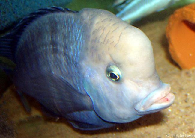 голубой дельфин с большим горбом на лбу