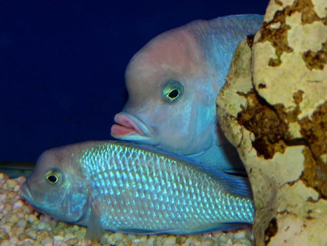 пара голубых дельфинов в аквариуме