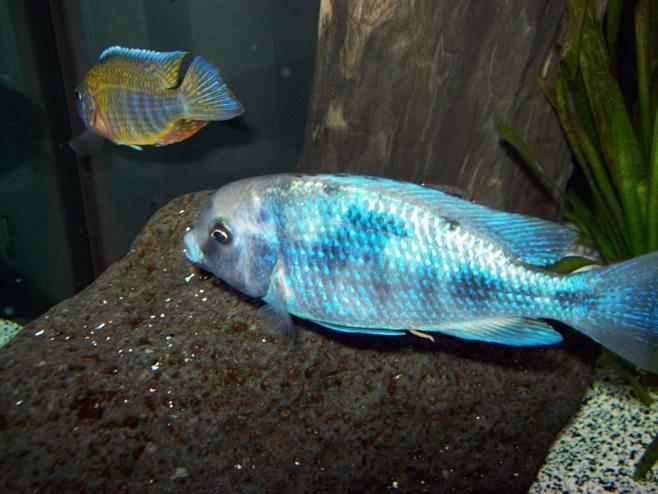 цихлида голубой дельфин в аквариуме с другими рыбками