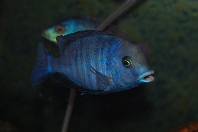 цихлида голубой дельфин или циртокара мури плавает в аквариуме