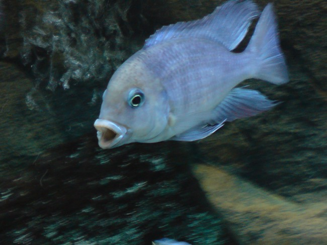 цихлида озера малави голубой дельфин плавает в аквариуме