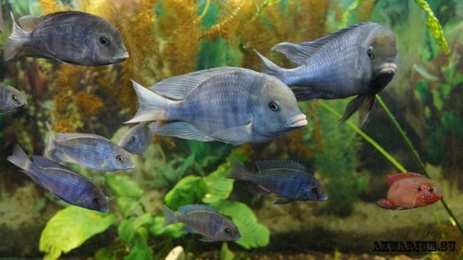 голубые дельфины в аквариуме на фоне растений