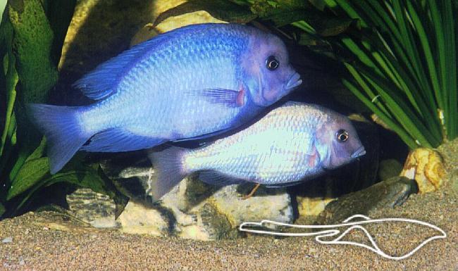 пара голубых дельфинов плавают у дна аквариума