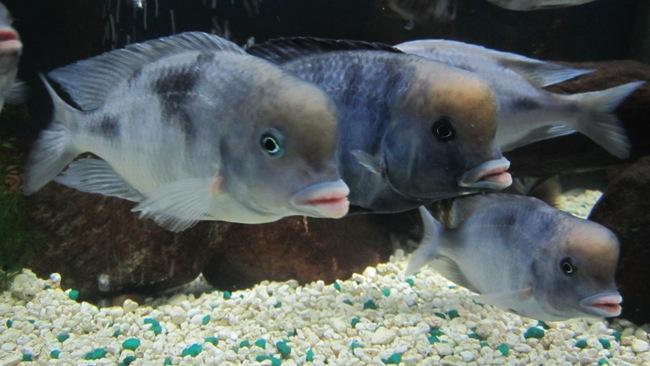 цихлиды голубые дельфины плавают в аквариуме