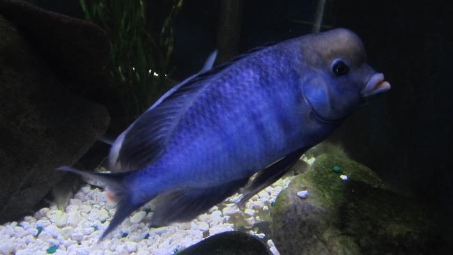 цихлида озера малави голубой дельфин или циртокара мури в аквариуме
