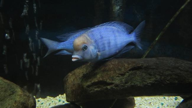 голубой дельфин или циртокара мури плавает у камней в аквариуме
