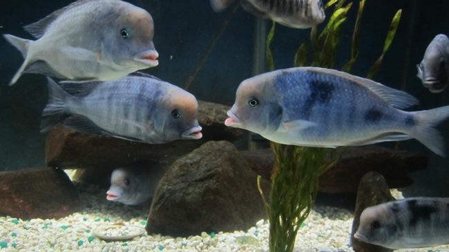 рыбки семейства цихловых голубые дельфины