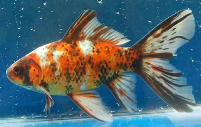 золотая рыбка шубункин или калико