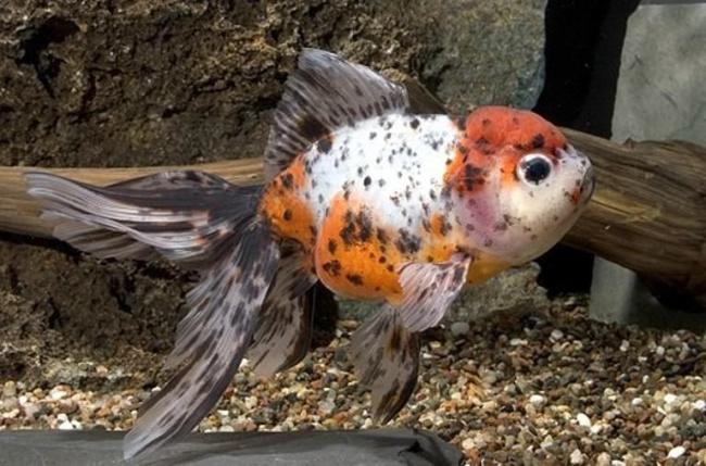 японская золотая рыбка шубункин или калико в аквариуме