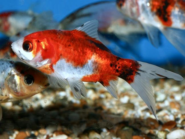 шубункин или калико в аквариуме