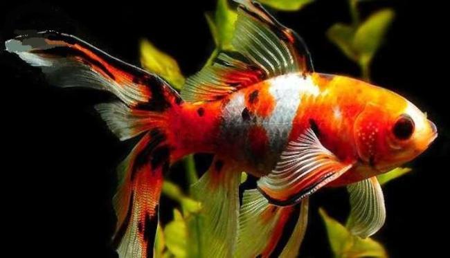 аквариумная рыбка шубункин или калико