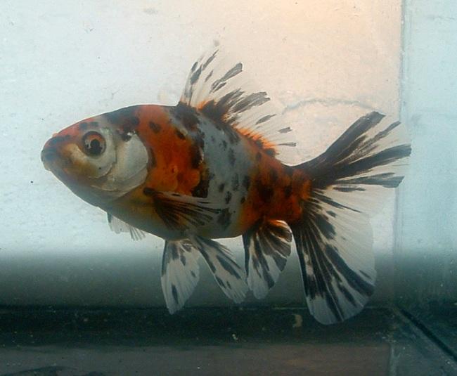 золотая рыбка шубункин или калико в аквариуме