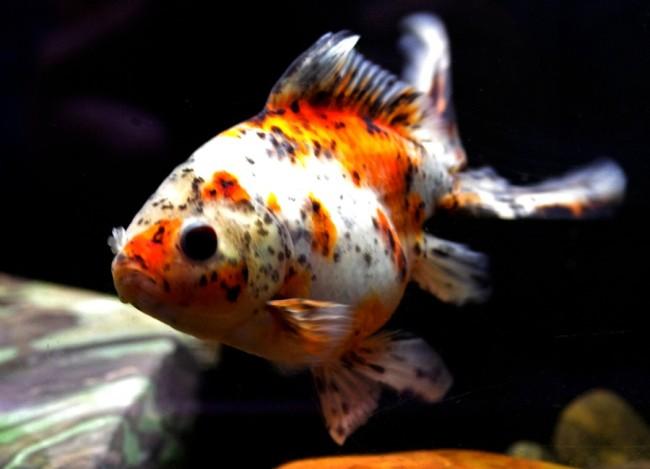 японская золотая рыбка шубункин или калико