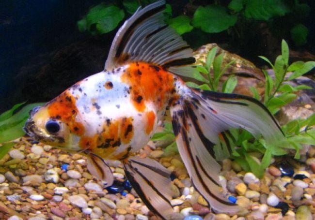 японская аквариумная золотая рыбка шубункин