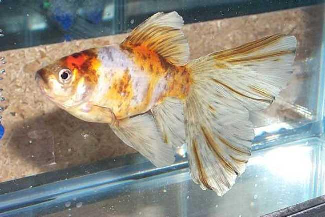 японская рыбка шубункин или калико в аквариуме