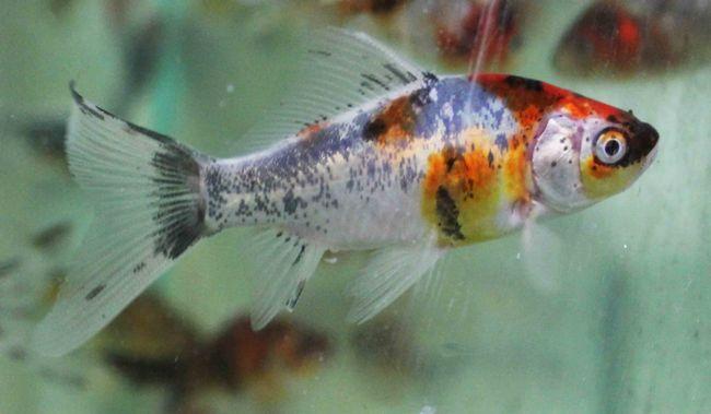 японская аквариумная золотая рыбка шубункин или калико