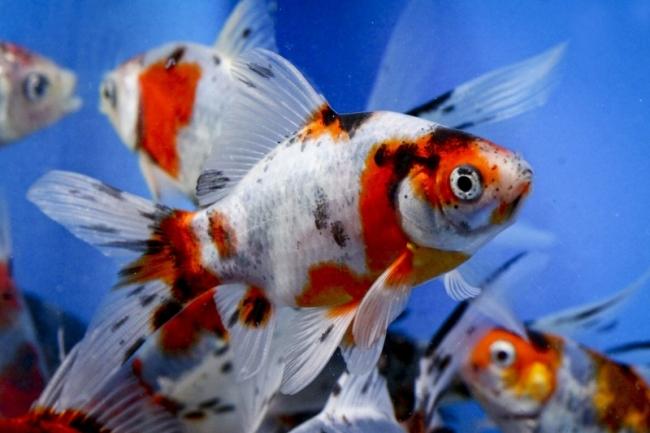 аквариумные золотые рыбки шубункин