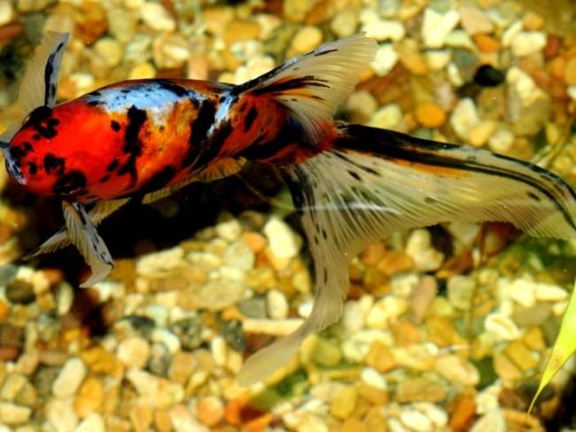 японская аквариумная рыбка шубункин или калико