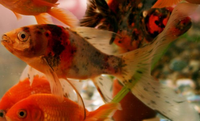 японская рыбка шубункин в аквариуме