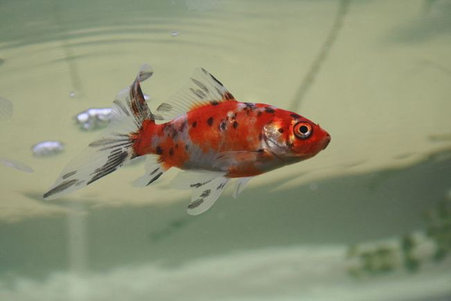 японская рыбка шубункин