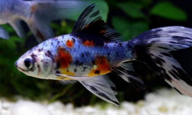 японская золотая рыбка шубункин в аквариуме