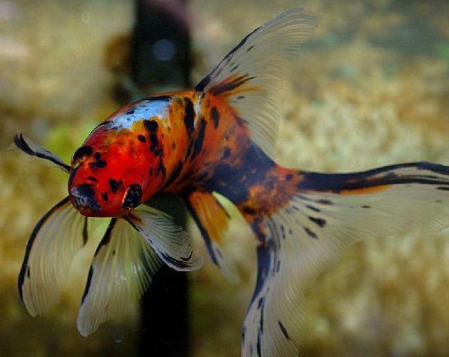 аквариумная золотая рыбка шубункин