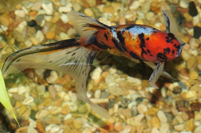 японская рыбка шубункин или калико