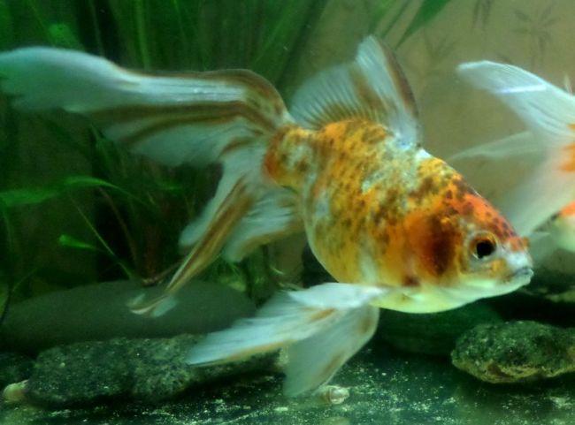 японская аквариумная рыбка шубункин