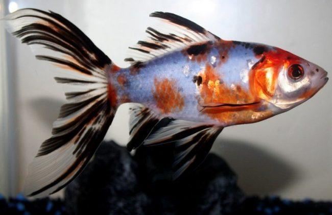 аквариумная золотая рыбка шубункин или калико