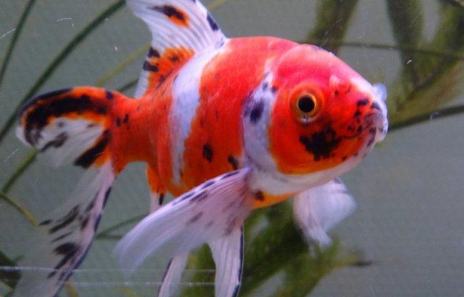 золотая рыбка родом из японии шубункин