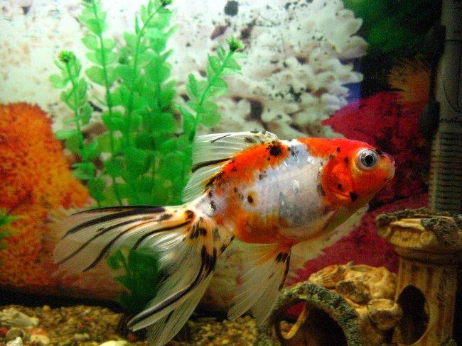 шубункин в аквариуме