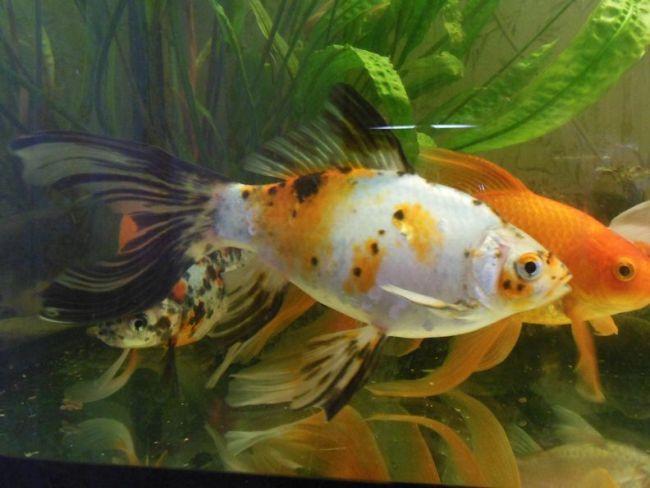 шубункин в аквариуме с другими рыбками
