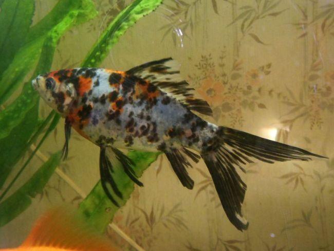 аквариумная рыбка шубункин