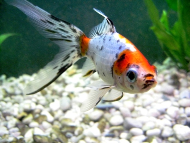 японская золотая рыбка шубункин